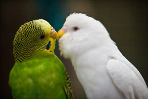 Looking for a Female budgie