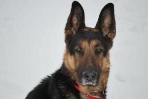 "Adult Male Dog - German Shepherd Dog: ""Dudley"""