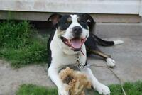 """Adult Male Dog - Pit Bull Terrier: """"Chico"""""""