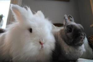 "Adult Female Rabbit - Lionhead-Dwarf: ""Ethel and Ainsworth"""