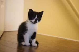 """Young Male Cat - Domestic Short Hair: """"Marvin"""""""