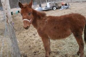 """Young Male Horse - Mule: """"peanut and buster"""""""