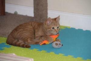 "Baby Male Cat - Domestic Short Hair: ""Mr. Orange"""