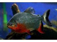 3 Large Red Belly Pacu