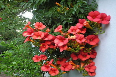 RED TRUMPET VINE - Campsis radicans (50 SEEDS) TROPIC CLIMBING PERENNIAL! for sale  Shipping to United States