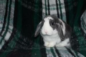 """Young Male Rabbit - Holland Lop: """"Columbo"""""""