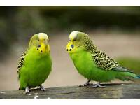 Australian parrot (Budgies) with cage