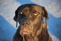 """Young Female Dog - Mastiff: """"Kalie"""""""