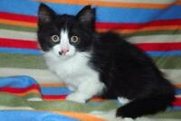 Baby Female  - Domestic Long Hair-black and white-Maine Coon