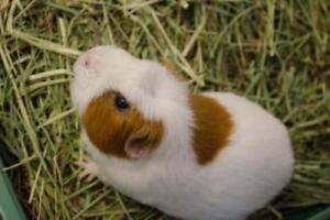 "Adult Male Small & Furry - Guinea Pig: ""Baby *bonded To Barley"""