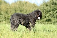 Purebred Bouvier Female. 1 and a half years old