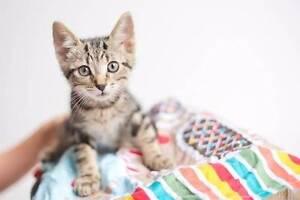 Kitten 'Ruckus' - Hunter Animal Rescue Warners Bay Lake Macquarie Area Preview