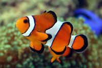 Ocellaris Clown Fish - salt water fish