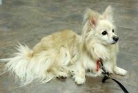 "Adult Male Dog - Pomeranian: ""Andrew"""