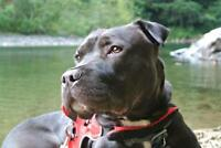 """Young Male Dog - Shar Pei-Pit Bull Terrier: """"Eli"""""""