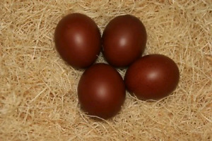 ISO Marans Hatching Eggs AND rooster!