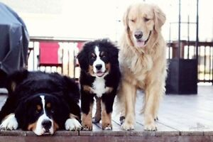 Bernese Puppies- WANTED