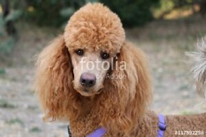 ISO: Standard Poodle