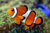 Clown fish and hippo Tang for sale
