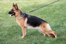 looking for a german shepherd Campbellfield Hume Area Preview