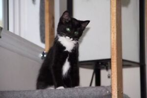 "Young Female Cat - Domestic Short Hair: ""Olivia"""