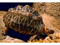 Indian Star Tortoise - Can deliver
