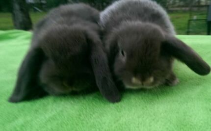 CHOCOLATE MINI LOPS QUALITY CARE PURE BRED RABBIT HUTCHES Londonderry Penrith Area Preview