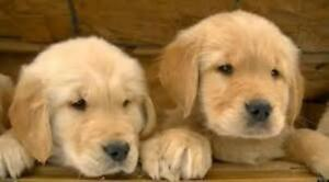 Healthy Golden Retriever Puppies ready for loving homes!