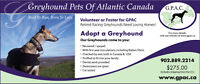 Adopt or foster a Greyhound - GPAC