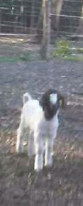 Baby goat for sale Holmesville Lake Macquarie Area Preview