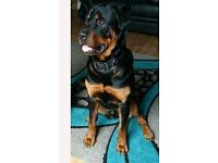 13month male rottweiler £100