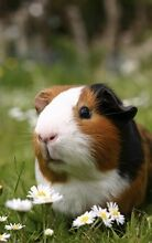 Guinea Pig wanted, Female Max 7 weeks. Parkerville Mundaring Area Preview