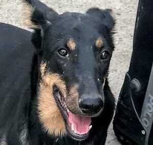 "Young Male Dog - Labrador Retriever-Doberman Pinscher: ""Birdie"""