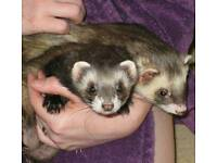 Ferrets for sale £30 for pair