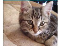 Half bengal female kitten