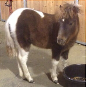 Miniature horse for sale.