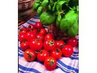 tomato plants for sale gardeners delight and marmonde 30p each in pots - southbourne