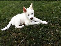 Rare white Japanese Akita for sale