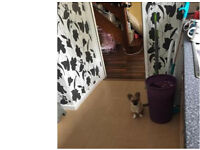 long haired chihuahua female she be 5mths on the first of may