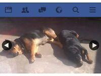 Rottweiler cross japanese Akita pups