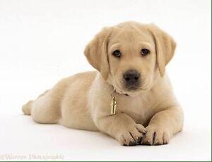 Wanted: Purebred labrador puppy Morphett Vale Morphett Vale Area Preview