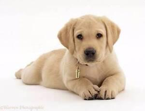 Labrador puppy for autistic daughter Newcastle Newcastle Area Preview