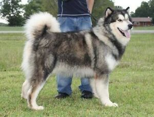 Looking for an Alaskan Malamute puppy to join my family Rockingham Rockingham Area Preview