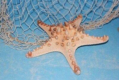 Großer Noppenseestern Seestern maritime Deko Dekoration echt ca. 20cm
