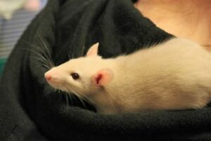 "Adult Male Small & Furry - Rat: ""Cheeto"""