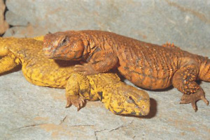 Various Lizards for sale