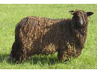 12 x Wensleydale (black) fleeces