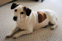 "Adult Female Dog - Jack Russell Terrier: ""Maggy"""