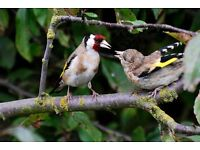 Baby goldfinches required