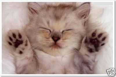 Sleepy Kitty   Cute Kitten Cat Animal Pet Print  Poster